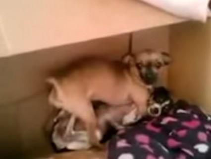 【動画】これは怖い。犬のセ○クスを撮影してたら・・・