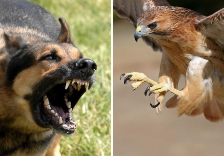 砂漠でのウサギ狩りかっこ良すぎ。陸上から犬が、空からはタカが襲い掛かる