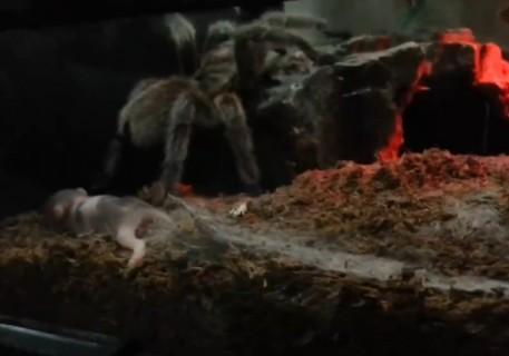 【閲覧注意】ハムスターの赤ちゃんをタランチュラの虫かごの中に入れてみた