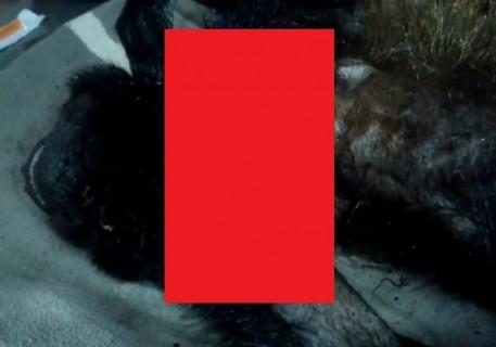 【超!閲覧注意】サルの身体に蠢くおびただしい数の寄生虫の動画がトラウマ