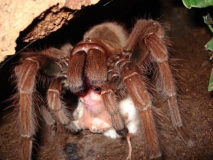 世界一デカいクモってこの30cmのヤツでいいの?