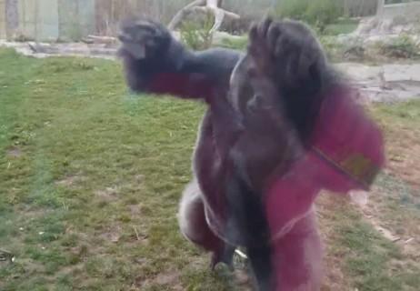 【動画】動物園で一番怖いのはこれだわ。こっちに走ってきたゴリラが…