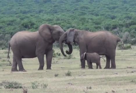 【動画】象の家族、感動の再会(※ 45秒までしか見ないでください)