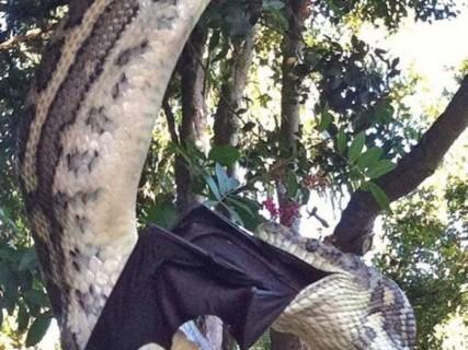 オーストラリアでカーペットパイソンがオオコウモリを食べている決定的瞬間
