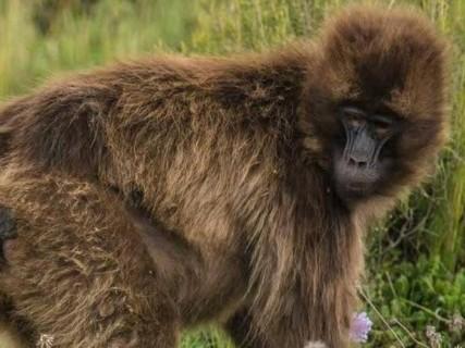 サルの赤ちゃんが生まれる瞬間が「怖すぎる」と話題に