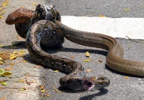 外国でコブラ vs. パイソンの激しい戦いが激写され話題に