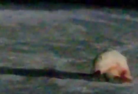 【閲覧注意】大問題になっているビデオ。「シロクマに爆竹食べさせてみた」