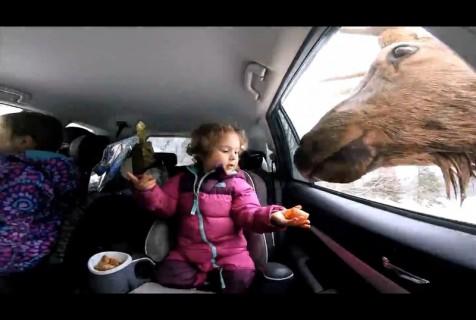 【動画】小さな女の子 vs.「巨大トナカイ」がマジで化け物としか思えない