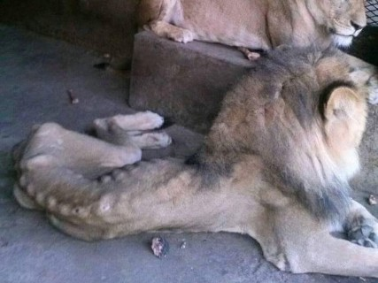 【画像】放置された動物園の檻の中にいたライオン・・・