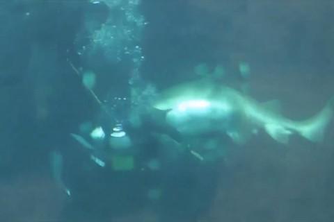 【閲覧注意】水族館の巨大ザメがダイバーを襲う恐ろしい映像