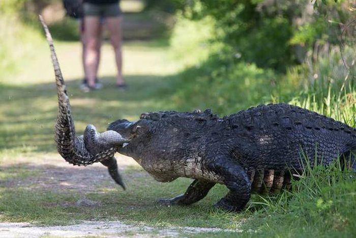 hungry_crocodile_02