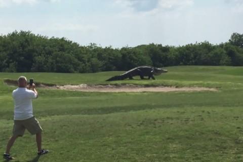 フロリダのゴルフ場に怪物みたいな超巨大ワニが現れて話題に