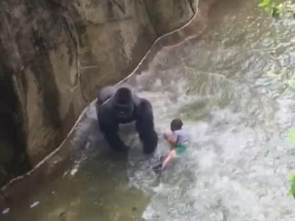 動物園で3歳の男の子が「ゴリラ」の囲いに落ちる ⇒ 恐ろしい光景が…(動画)