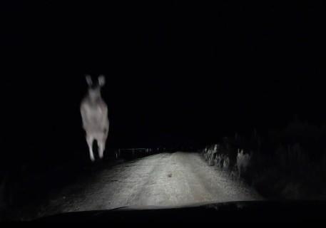 オーストラリアで夜中、「とある生き物」が車に襲い掛かってくる恐ろしいビデオ