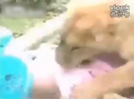 【動画】何が起こった? 動物園で少女がライオンに襲われてる