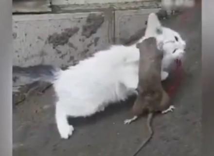 中国の巨大ネズミ、とうとう猫に勝つ・・・(動画)