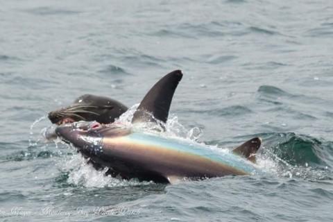 アシカがサメを食っている様、「これはヤバすぎる」と話題に