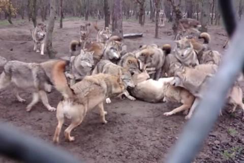 【動画】いじめられっ子だった人。あなたがもし「オオカミ」だったらこうなる