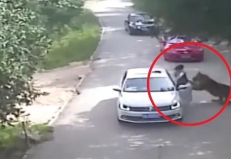 ヤバい映像来た。サファリパークで車の外に出た女がトラに殺される・・・