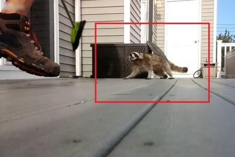 【動画】絶対に飼ってはいけない生物、「アライグマ」の怖さがよく分かる映像