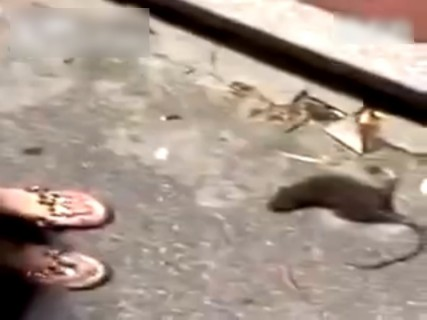 【閲覧注意】女の子、死にかけのネズミに敗北・・・(動画)