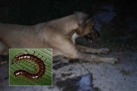 【動画】犬を絶対に「ムカデ」に噛ませてはいけない・・・最悪こうなる