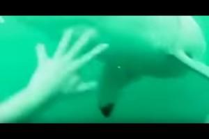 海で遊んでて海中にバチャン ⇒ ホオジロザメがいた場合…(動画)