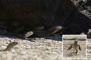 イグアナが大量のヘビから逃げ延びる映像が「マジで映画だ」と話題に