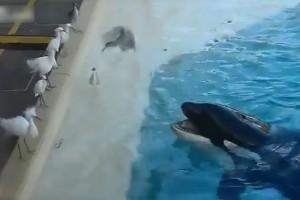 水族館のプールを泳ぐシャチに野生の鳥が近付いたその時…!(動画)
