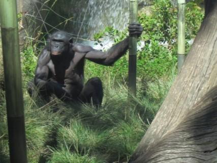 【閲覧注意】チンパンジーに襲われた人間、マジかよこれ・・・(画像)