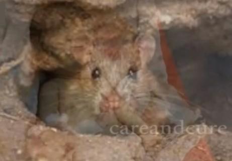 【閲覧注意】インドの病院で新生児の赤ちゃんがネズミに食べられ死亡する事件が発生
