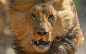 【閲覧注意】野生のライオン1匹 vs. 銃を持ったハンター6人…こうなるらしい…(動画)