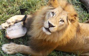 """【閲覧注意】動物園のライオン、飼育員を """"エサ"""" だとしか思ってなかった・・・(画像)"""