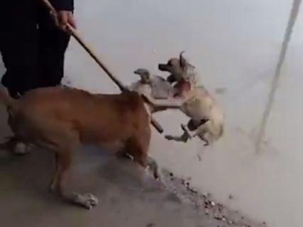 DQNが飼ってる「躾してない大型犬」が街で小型犬に出会った結果・・・(動画)