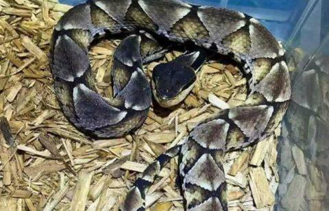 【閲覧注意】「噛まれたら百歩歩くうちに死ぬ」と言われる最強の毒蛇に噛まれた結果・・・(画像)