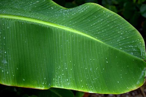 """【超!閲覧注意】東南アジアで """"バナナの葉っぱ"""" を絶対にめくってはいけない理由"""