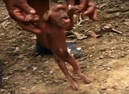 【閲覧注意】ブタが10匹の子供を産む ⇒ 1匹「ありえないもの」が混じっていた・・・(動画)