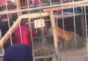 【衝撃動画】サーカスでトラが檻から飛び出し観客たちを襲う・・・中国で地獄絵図
