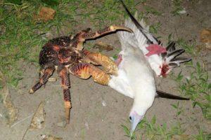 【衝撃動画】ヤシガニとかいう化け物、カモメの巣によじ登りむしゃむしゃと食ってしまう