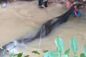 【衝撃映像】タイの村の伝説! 200kgの超巨大ナマズが生け捕りにされ世界中で話題に