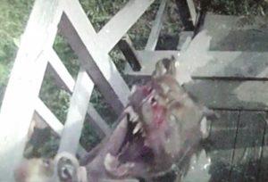 【動画あり】うちの犬、近所の狂暴な犬に半殺しにされる・・・これ見てくれ・・・