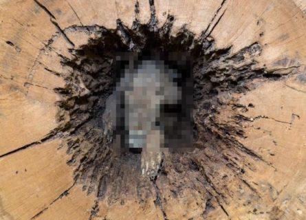 """【衝撃画像】獲物を追い掛け木の幹に突き刺さった犬、""""60年後"""" に発見される!!!"""