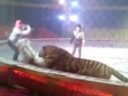 【衝撃映像】サーカスで。虎「コイツうまそうやな。食おう」(動画あり)