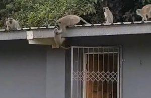 【衝撃】ケガしていた猿を保護、野生に返すと…山から仲間の猿たちが集まってきて…(動画あり)