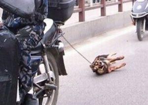 【閲覧注意】犬をバイクで引きずり回す遊びが流行ってしまう・・・(動画あり)