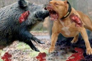 【衝撃映像】世界最狂の犬と巨大イノシシを死ぬまで戦わせてみた!(動画あり)