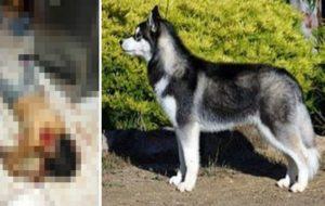 【閲覧注意】家で雇ってたメイド(♀)さん、家で飼ってた犬に食べられて死亡…(画像あり)
