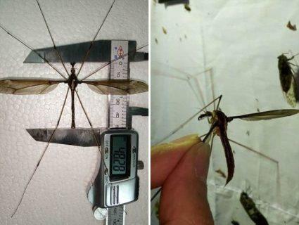【恐怖】中国で全身の血を吸い尽くされそうな「世界最大の蚊」が発見される…(画像あり)