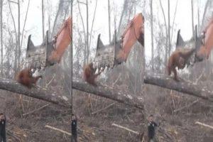 【悲報】自分の家(森林)を破壊していくショベルカーへのオランウータンの反応が泣ける…(動画あり)