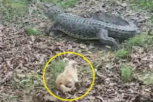 【悲報】水辺のワニを追い払う動画で世界中で有名になった、あの犬の「末路」が笑えない…(動画あり)